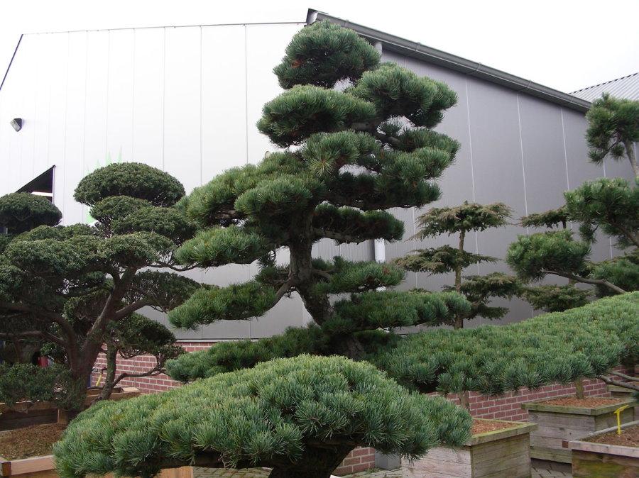 Высокое дерево белой японской сосны