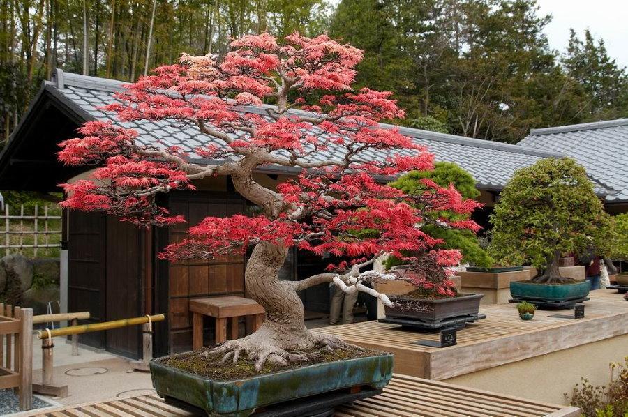 Японский клен в форме бонсай