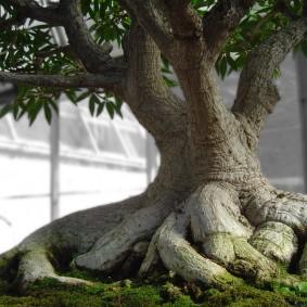 Бонсай в стиле дерево на камне исицуки