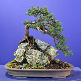 Бонсай в стиле корни на скале секийою