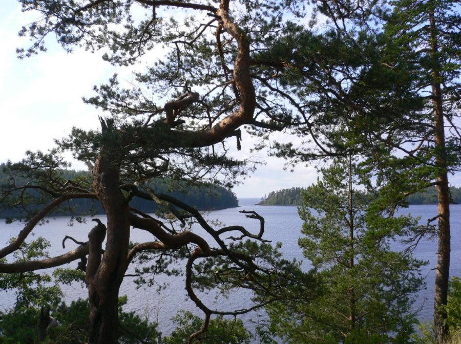 Дикорастущее дерево с причудливо изогнутым стволом