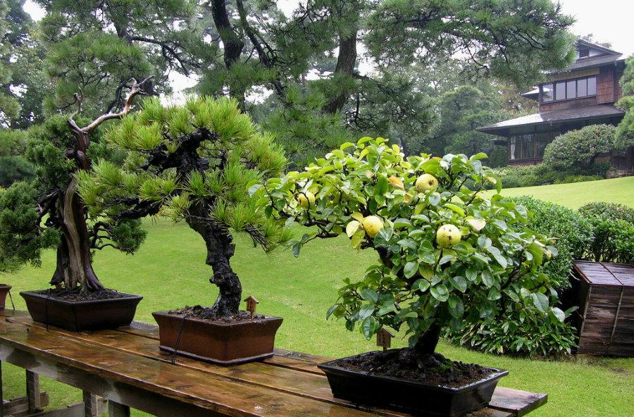 Карликовые растения бонсай в горшках на деревянном столике