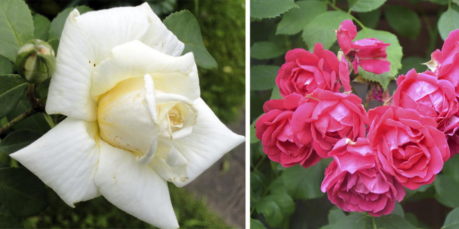 Примеры бутонов плетистых роз разных сортов