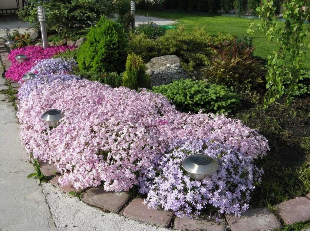 флоксы в саду фото