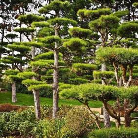 Японские сосны в ландшафтном дизайне