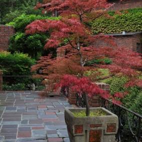 Японский клен в деревянной кадке