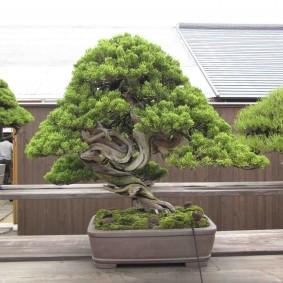 Традиционный бансай в японском стиле