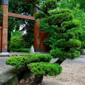 Японская сосна причудливой формы