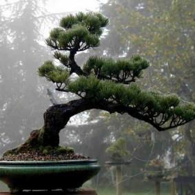 Классический бансай в форме согнутого ветром деревца