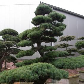 Изогнутое дерево в стиле бансай
