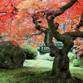 Оголенный ствол японского клена с красными листьями
