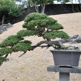 Японская сосна в каскадном стиле