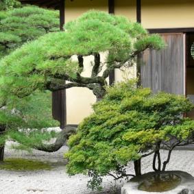 Выращивание японских деревьев в средней полосе