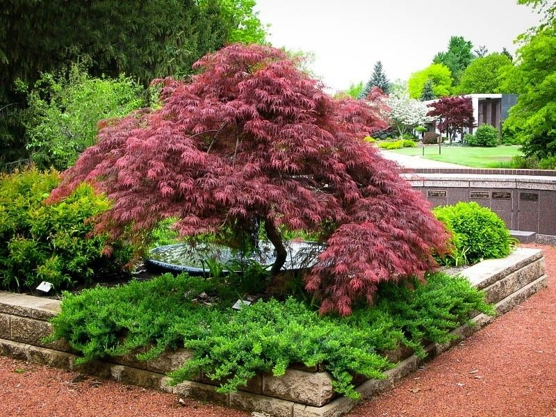 были декоративные деревья для сибири фото и названия крюгер
