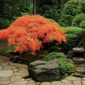 Небольшой кустик японского клена в тени высоких деревьев