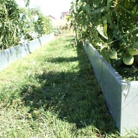 Зеленые плоды на ветках томатов