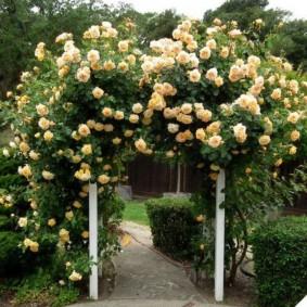 Кремовые цветки на ветках розы