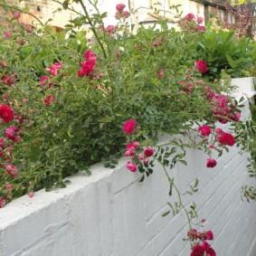 Раскидистые ветки на кусту плетистой розы