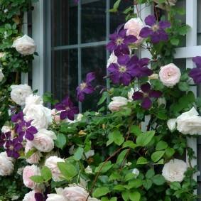 Комбинация белых роз с темно-сиреневым клематисом