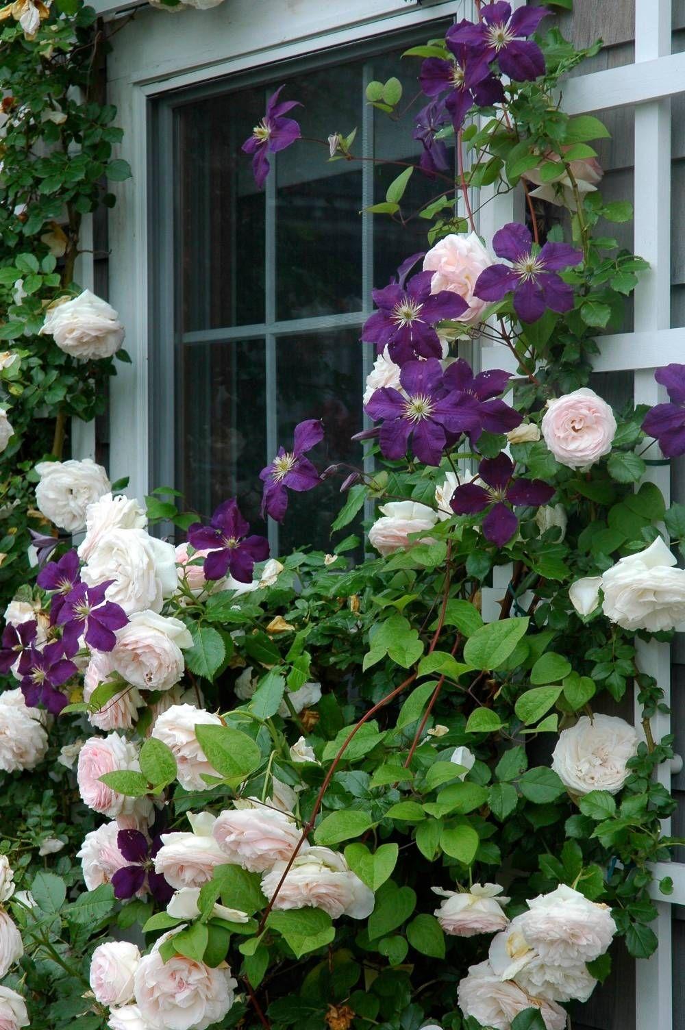 Плетистые цветы для сада фото