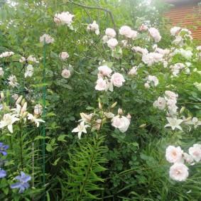 Кустовая роза с длинными побегами
