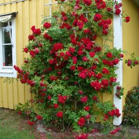 Куст розы с бардовыми цветками около стены дома
