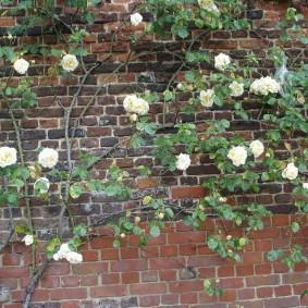 Ветки цветущей розы на фоне кирпичной кладки