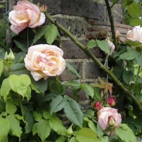 Пышные бутоны садовой розы