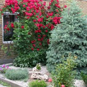 Сочетание плетистой розы с хвойными растениями