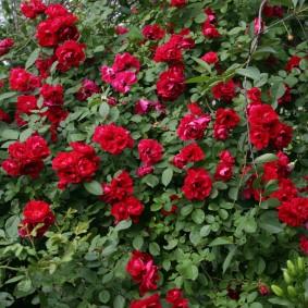 Куст розы с цветками насыщенного окраса
