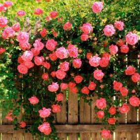 Перевесившиеся через забор плети садовой розы