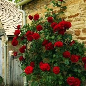 Куст розы около стены старого сарая