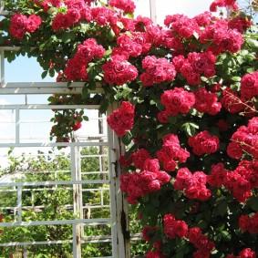 Ветки вьющийся розы с крупными цветками