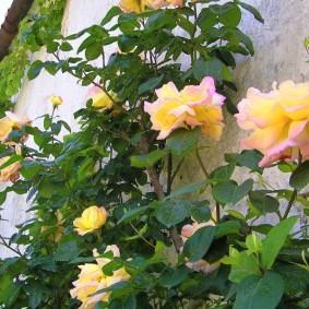 Желто-розовые бутоны на тонких ветках