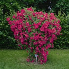 Куст плетистой розы в форме сердечка
