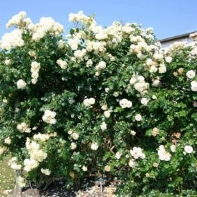 Белые цветки на дачной перголе