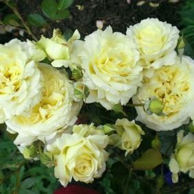 Огромные цветки на кусту сортовой розы