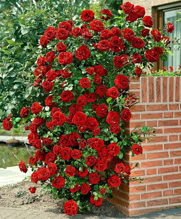 скул, розы в картинках отзывы переместили