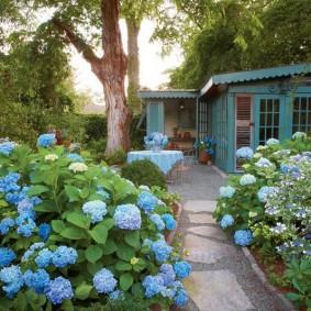 Голубые цветки на кустах гортензии