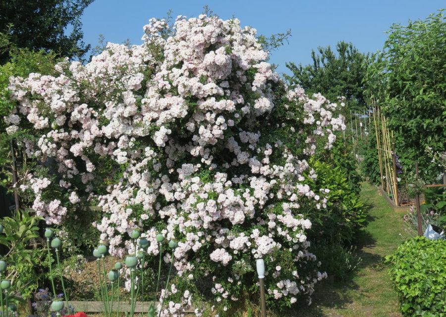 Обильно цветущий куст плетистой розы