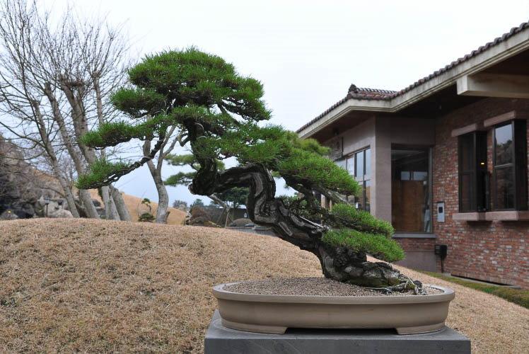 Садовый бонсай в японском стиле сякан