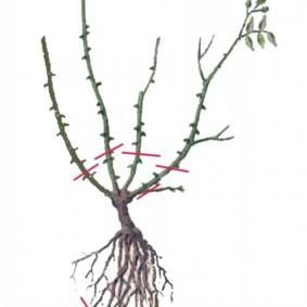 Схема обрезки саженца плетистой розы