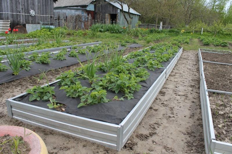 Посадки садовой земляники на оцинкованных грядках