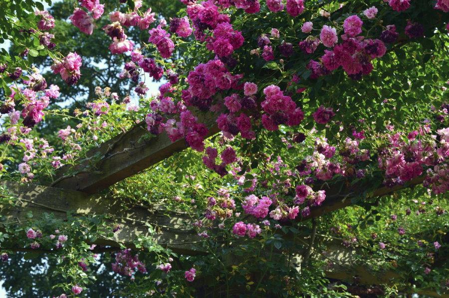 Деревянная арка с плетистыми розами
