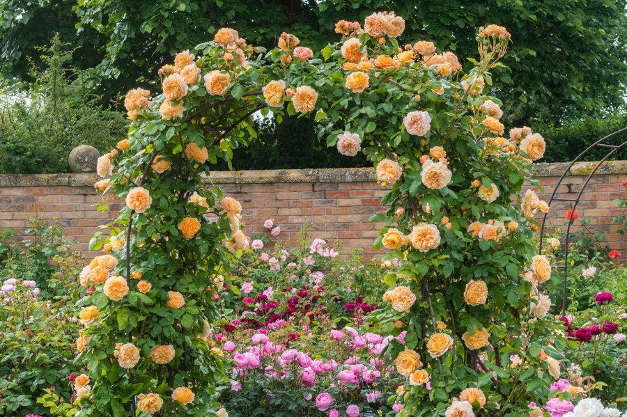 Кремовые плетистые розы на садовой арке