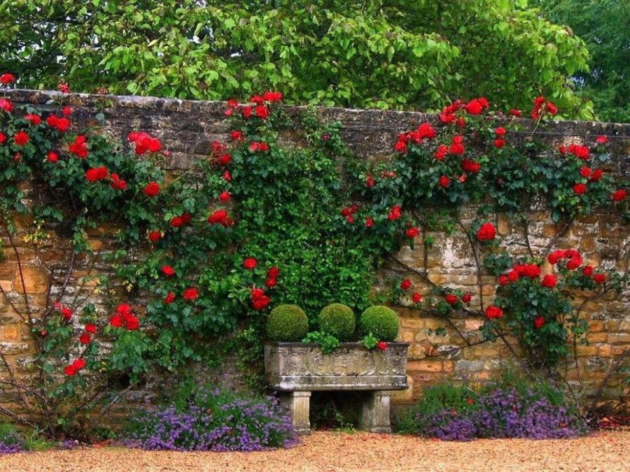 Красно-бардовые цветки на плетях розы