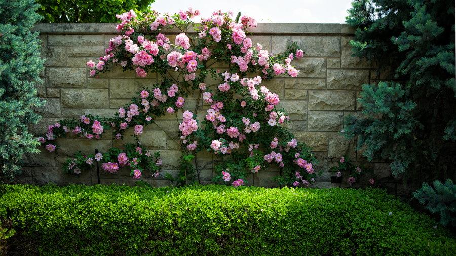 Декор капитального ограждения вьющейся розой