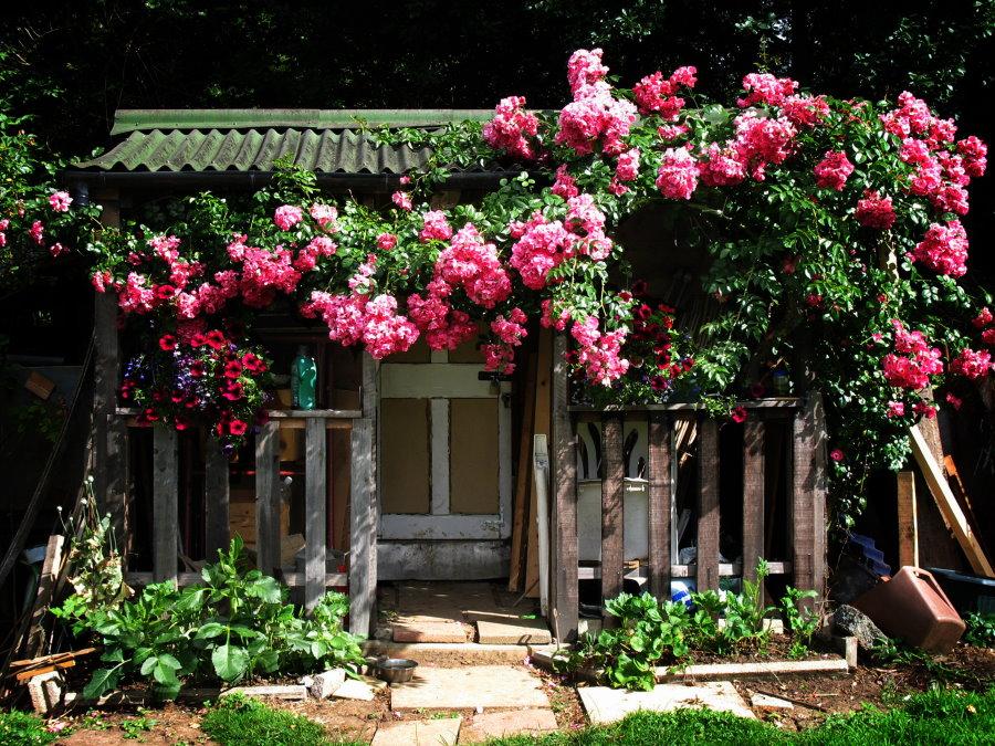 Цветение плетистой розы на старом заборе