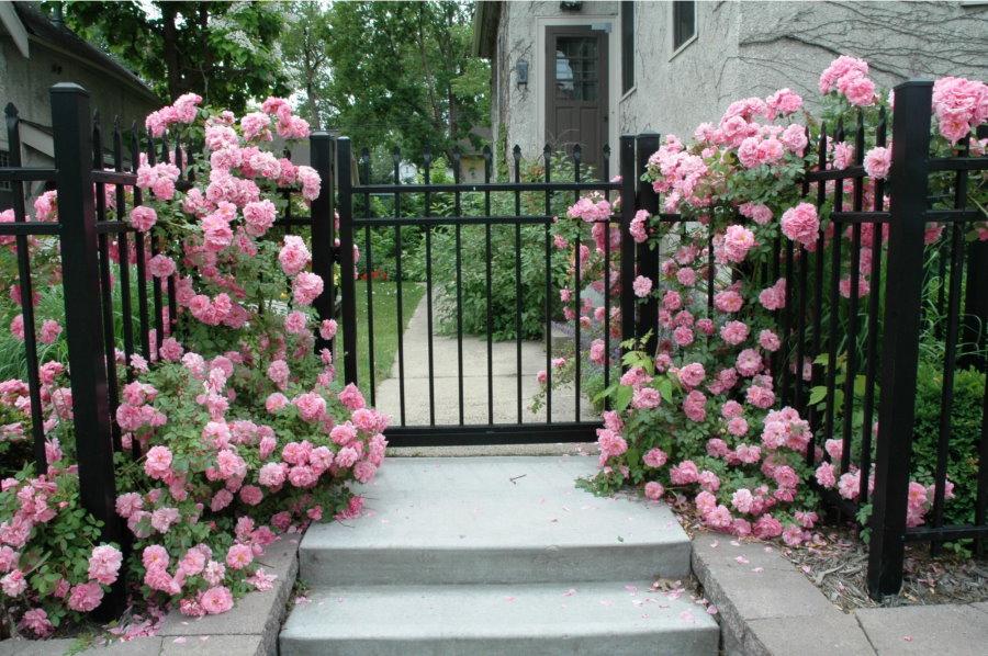 Плетистые розы перед входом на загородный участок