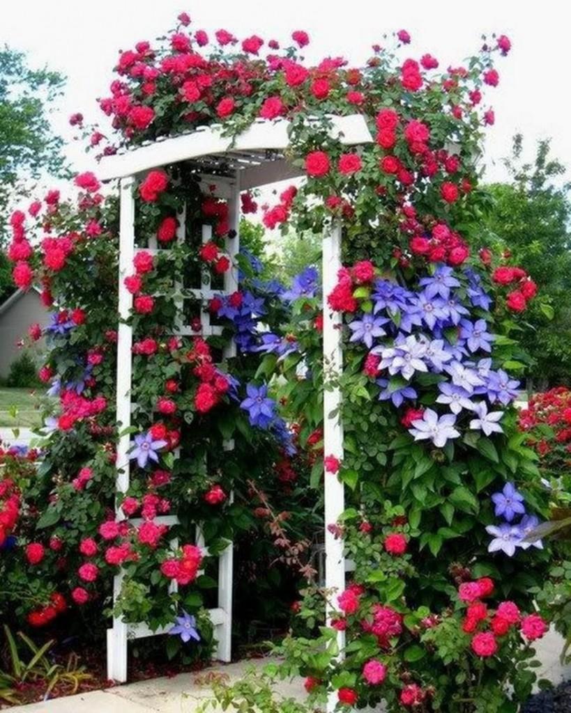 Плетистые розы на одной арке с клематисами